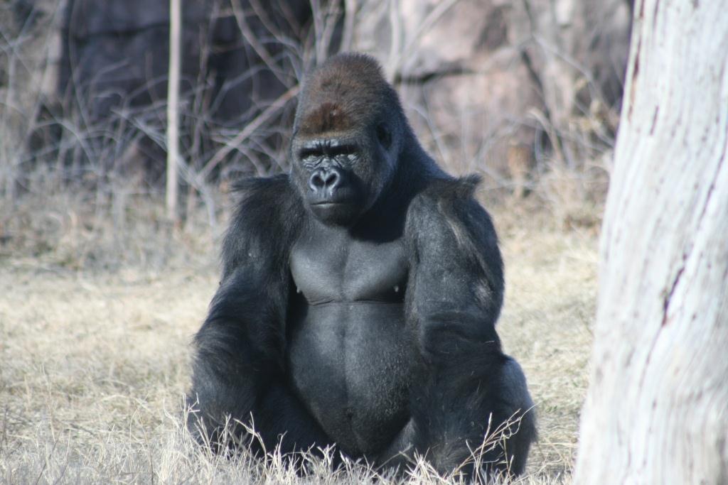 gorilla como park zoo and conservatory como park zoo and conservatory