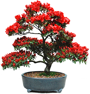 Bonsai-for-sponsor