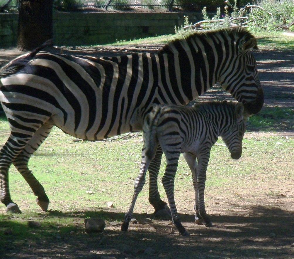 Como's Baby Zebra