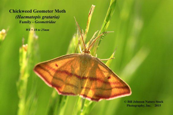 085060 - Haematopis grataria - Chickweed Geometer - 2x3 - titled