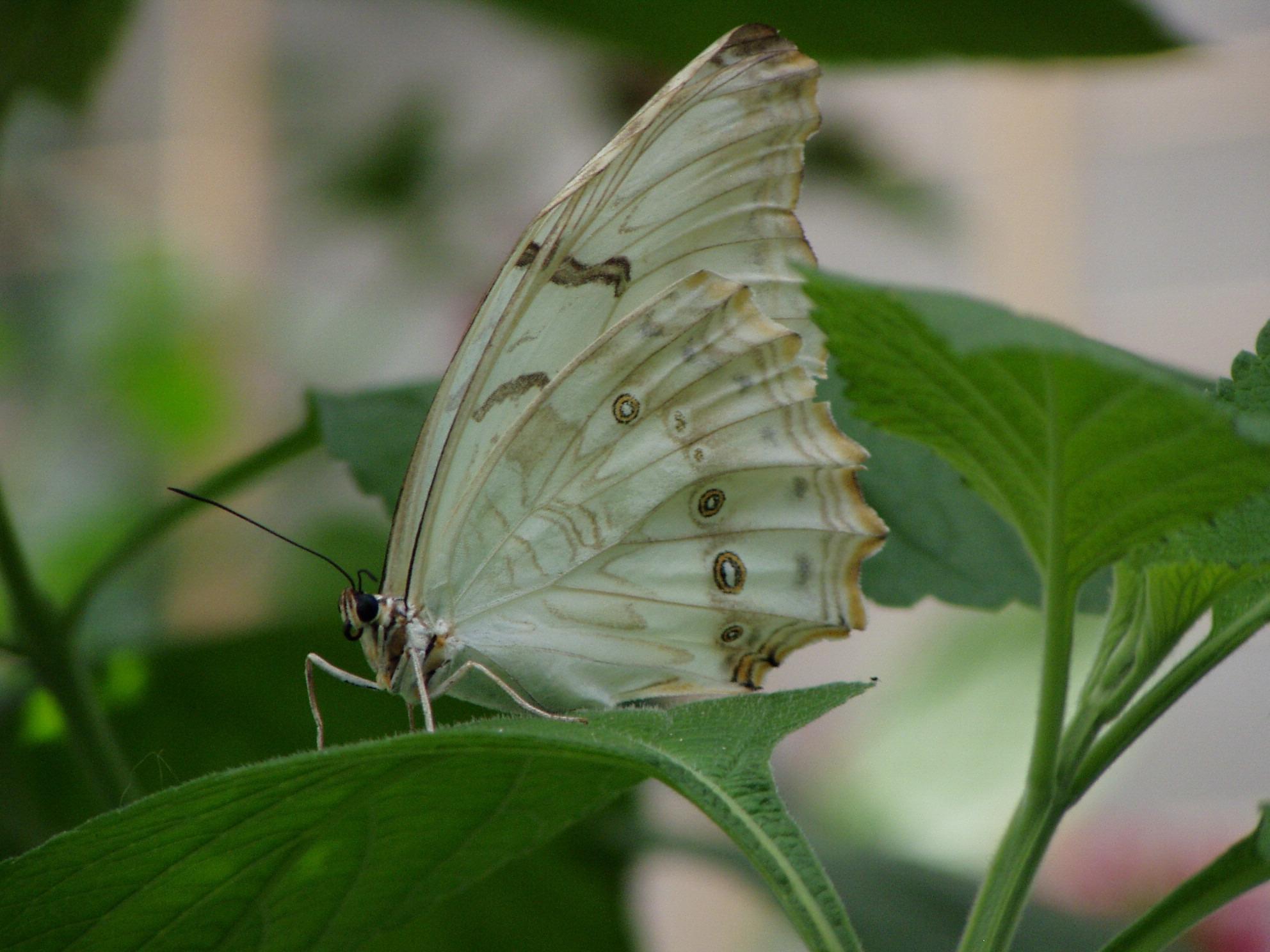white morpho 3