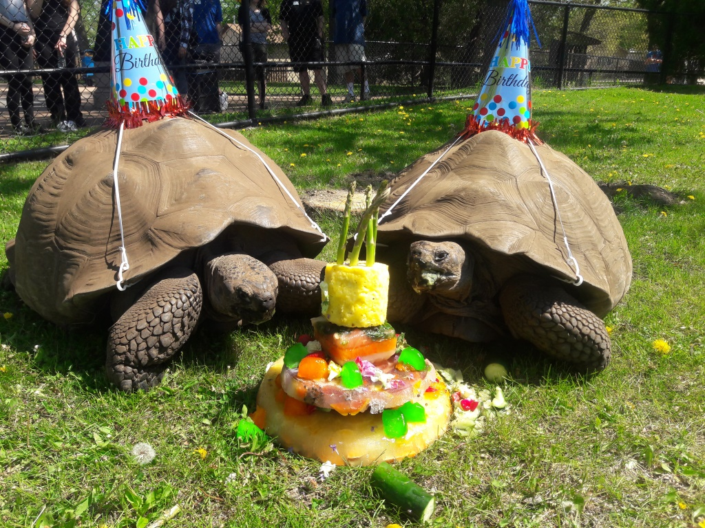 Como zoos galapagos tortoises celebrate 25th birthday como park como zoos galapagos tortoises celebrate 25th birthday publicscrutiny Choice Image
